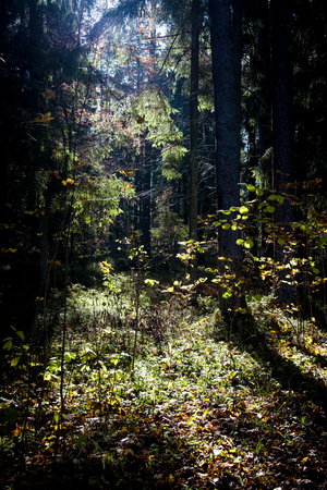 sigulda: Autumn forest in the morning Stock Photo