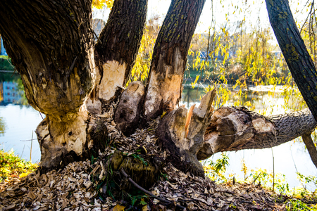 sigulda: Tree roots in a autumn forest