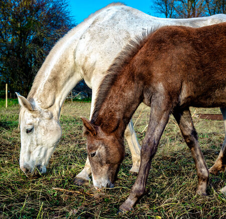 Beautiful brown and white horses feeding outdoors photo