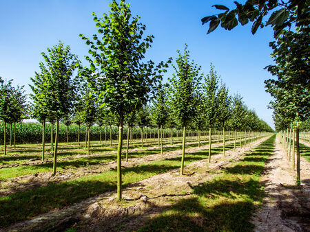 Rows of caucasian lime trees photo