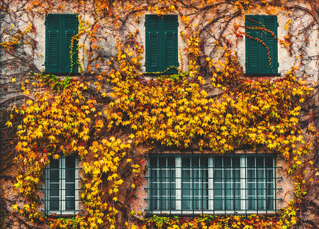 yellowed: Old building with yellowed ivy and green windows