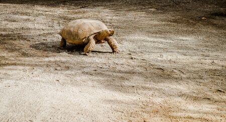 large turtle: Tortoise outdoors. Malaga, Spain