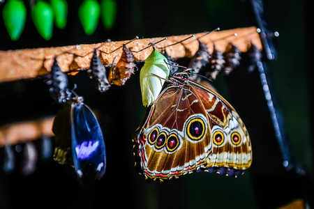 Close-up van Morpho peleides vlinder en Chrysalis