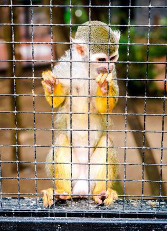 squirrel monkey: Squirrel Monkey in a cage