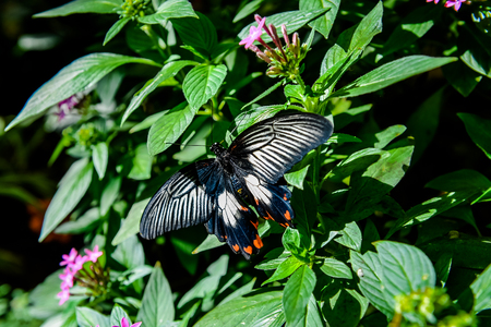 papilio: Great Mormon Papilio memnon butterfly on a flower Stock Photo