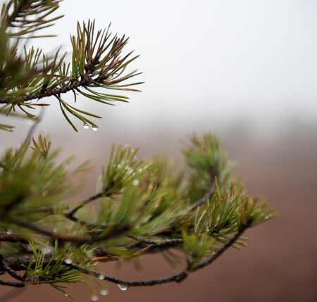 arbol de pino: Close-up of pine tree with morning dew on the twig