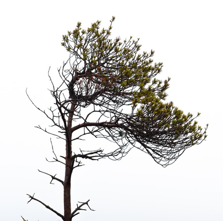 pine tree silhouette: Bare pine tree branches