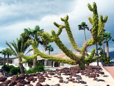 saguaro cactus: Saguaro cactus and palm trees. Tenerife, Canary islands. Spain