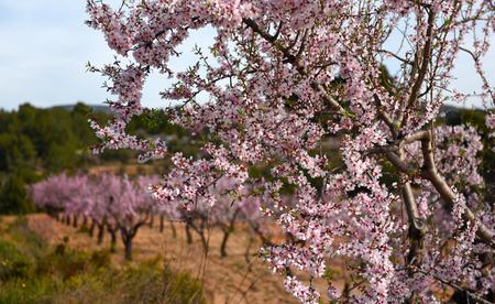 flowering field: Blooming almond trees. Alicante. Costa Blanca, Valencia. Spain