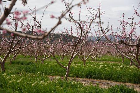 almond bud: Blooming almond trees. Spain