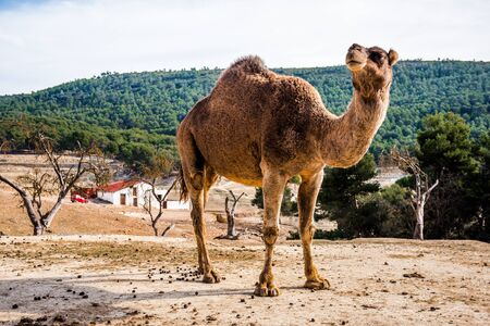 one humped: Camel outdoors