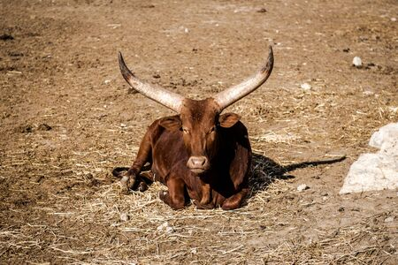 longhorn: The Ankole-Watusi, also known as Ankole Longhorn outdoors