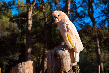 tree stump: The Salmon-crested cockatoo perching on a tree stump