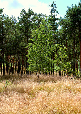 to spit: Pine forest. Russian part of Curonian Spit in summertime. Curonian spit, is the most popular destination of the Kaliningrad region. Stock Photo