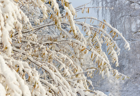 snowbanks: Autumn trees covered with a snow Stock Photo