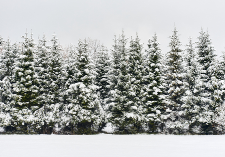 snowbanks: Pine trees in a row. Snowy forest. Latvia. Northern Europe