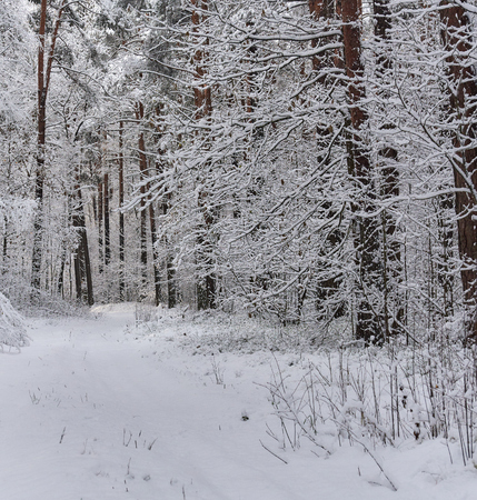snowbanks: Snowy forest. Latvia. Northern Europe