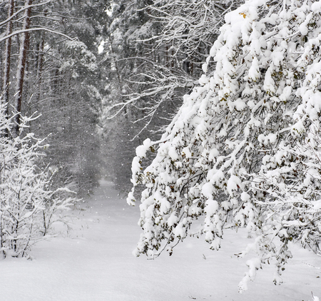 Snowy forest. Latvia. Northern Europe