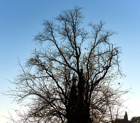 twiggy: Bare tree against blue sky Stock Photo