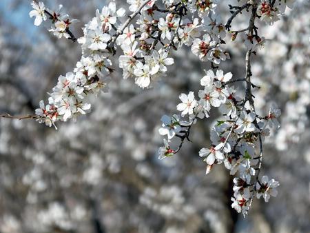 Blooming of almond trees in Spain