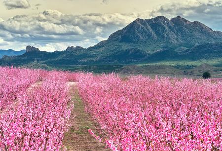 Obstgärten in voller Blüte. Blüte von Obstbäumen in Cieza in der Region Murcia. Pfirsich-, Pflaumen- und Nektarinenbäume. Spanien Standard-Bild