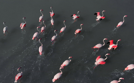 Aerial photography of flamingoes standing in lake water. Beautiful birds with bright coloring pink and black colors. Sunny day, full frame background. Torrevieja. Costa Blanca. Spain