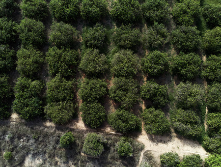 Aerial photography, directly above of green bushes orange trees rows. Agricultural fields, cultivated land in Spain. Torrevieja, Mediterranean. Province of Alicante. Full frame. Costa Blanca. Spain Stock Photo