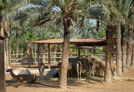 Lot of lama animals breeding straw, photo taken in Elche rio safari park, spanish city in Costa Blanca, Spain Standard-Bild - 120527910