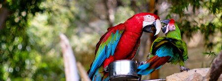 Two green-winged macaws outdoors, horizontal image