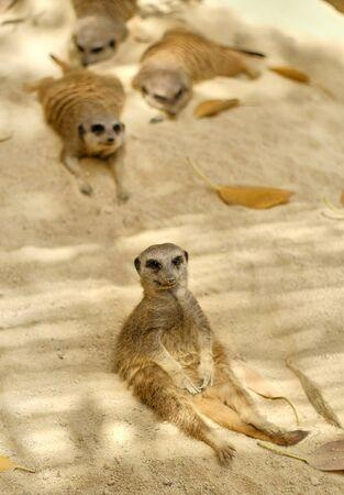 Family of lazy resting meerkats outdoors, pretty wild animals in safari park taken in Spain