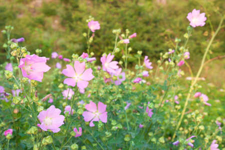 uncultivated: Wild flowering mallow on uncultivated valley Stock Photo
