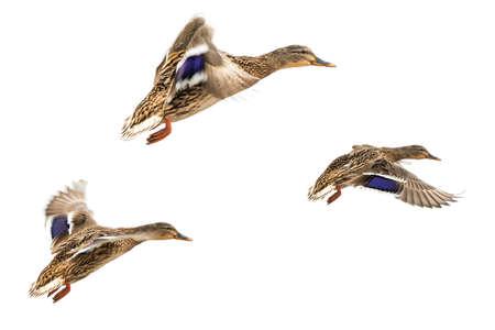 female mallard duck: Wild ducks in flight isolated on white Stock Photo