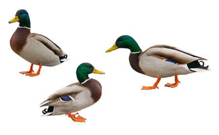 Drakes wild ducks isolated on white