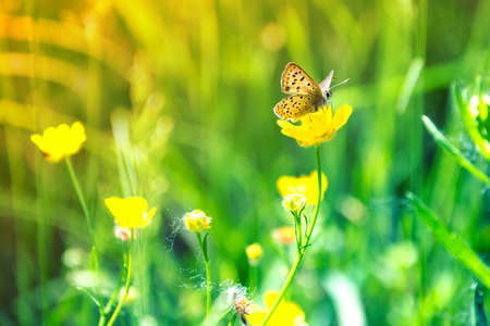 Butterfly sits on a yellow flower meadow photo