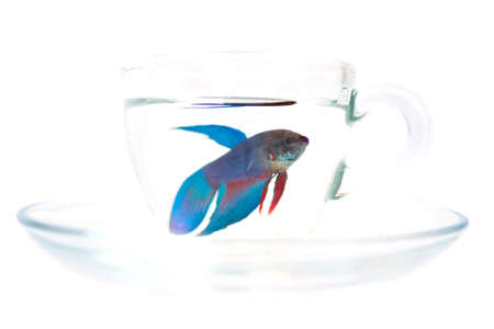 infringement: Rooster fish in a small transparent cup isolated on white Stock Photo