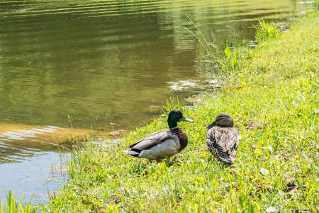 A pair of wild ducks on the grass by the lake photo