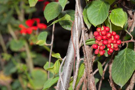 Ripe fruit of Magnolia vine (Schisandra) on the tree Imagens