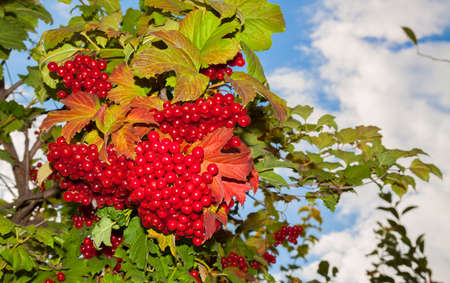 bunchy: Lush fruit of viburnum branch against the blue sky