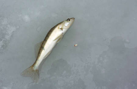 pikeperch: Small pikeperch caught on the ice in winter