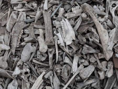 dead animal: Background of a pile of animal bones closeup