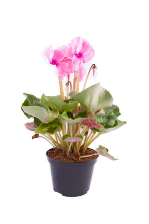 Cyclamen flower with green leaves isolated on white Imagens