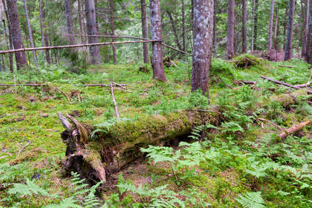 Wild pine forest with green moss ground