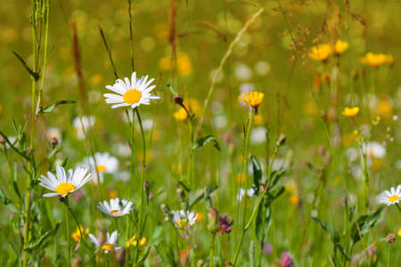Flowers daisies on a summer green meadow Imagens