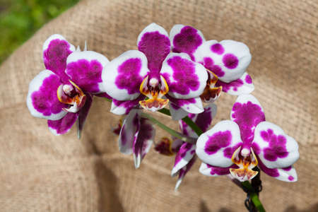 Little blooming orchid on fabrick background Imagens