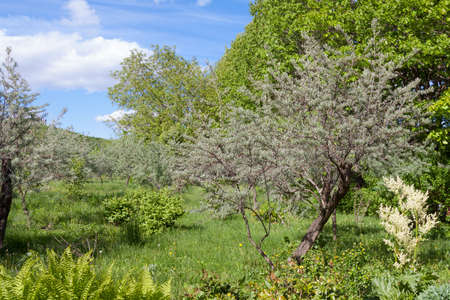An old, untrodden garden of olive trees overgrown with grass
