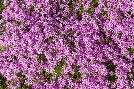 Background of a large number of purple flowers phlox Imagens