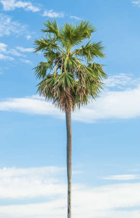 sugar palm: Sugar palm in blue background.