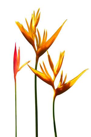 ave del paraiso: Ave del Paraíso flores con fondo blanco Foto de archivo