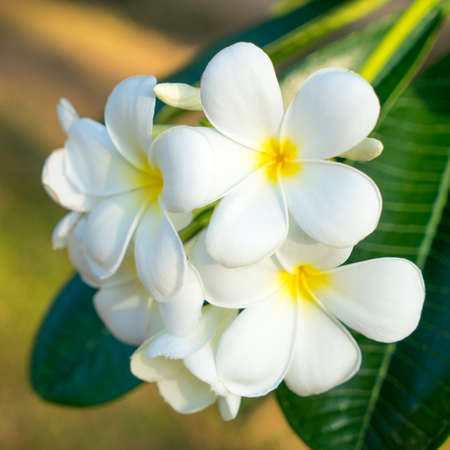White Frangipani Flowers with leaves background