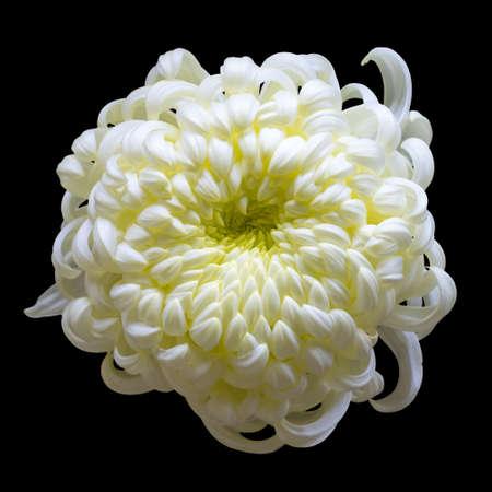 Crisantemo blanco aislado en fondo negro Foto de archivo